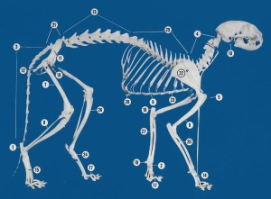 No. 5 is the useless cat clavicle - Adapted from: An Atlas of Cat Anatomy.  Field - Taylor